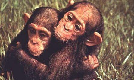 monos primates bonobos se enfadan al perder canalmenorca.com