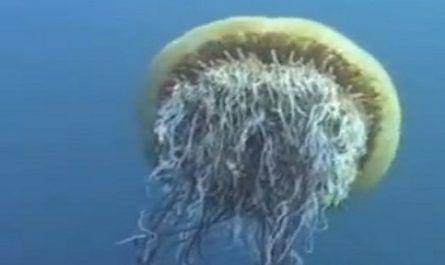 medusa melena de león canalmenorca.com
