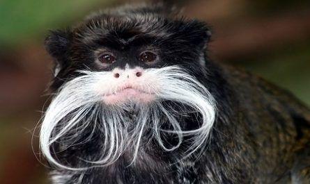 El tití emperador o tamarino bigotudo (Saguinus imperator) canalmenorca.com