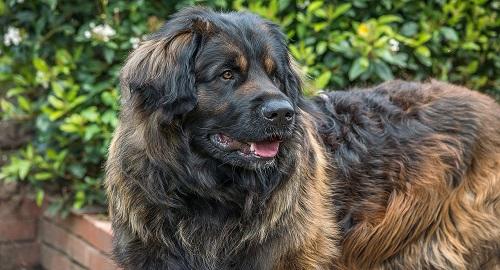 LEONBERGER, El Perro Gigante