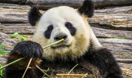 Oso Panda, Mamíferos, Ailuropoda melanoleuca, Qingling, Chengdú, Dujiangyan, China, Entrada Zoo Aquarium Madrid, Entrada al Zoo Barcelona, Entrada Oceanogràfic Valencia, Oceanográfico
