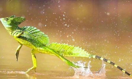 LAGARTIJA JESUCRISTO, camina sobre Agua, basilisco común, Basiliscus basiliscus, lóbulos dérmicos, Lagarto América Central, lagartija, reptil, saurio, Luis Estévez, Eva Salmerón, BIOLOGíA Y GEOLOGíA, canalmenorca.com